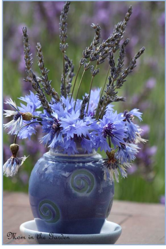 Lavender with cornflower
