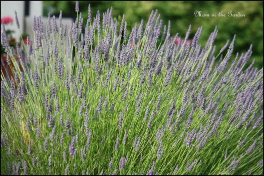 Lavender up close
