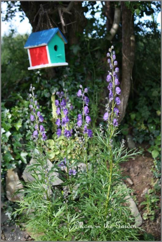 Monkshood (poisonous plant)