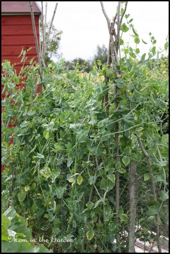 Organic Karina Pea plants