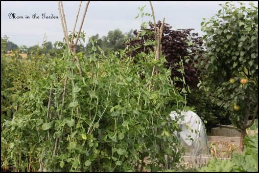 Peas growing up their tee-pee