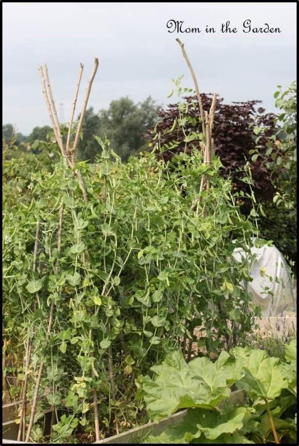 Organic Karina peas