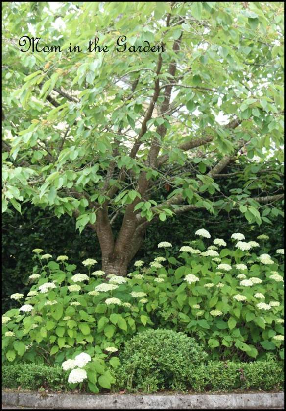 Annabelle hydrangea underneath a cherry tree