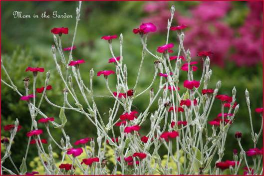 One of my favorite flowers! Lychnis Coronaria (dusty miller)