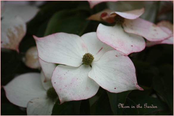 Flowering dogwood tree (definitely not the official name...)