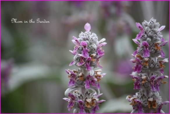 lambs ear flower (yes, I really must work on learning the proper names...)