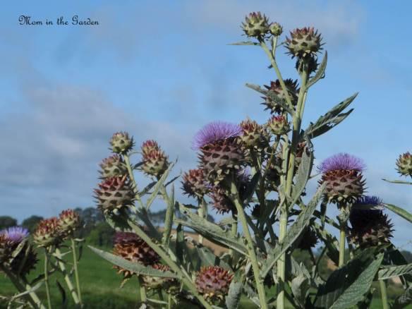 Artichoke plant covered with artichokes