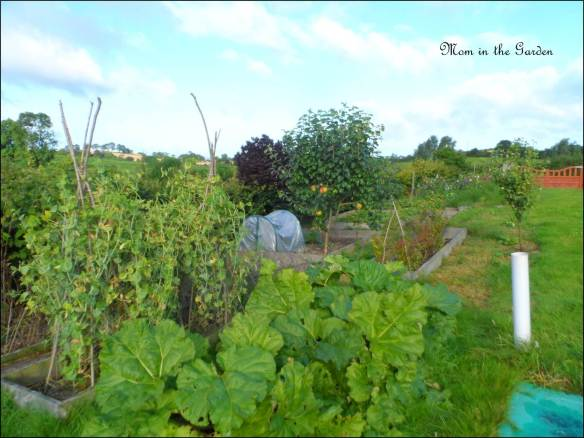 August 17th view of my garden with sewer pipe in full view
