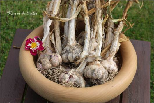 Harvest of Winter Planted Garlic