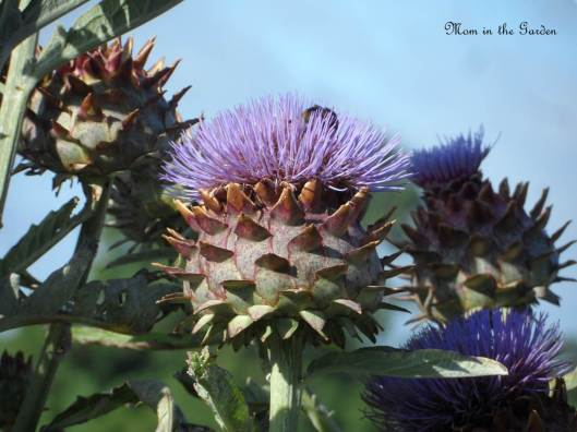 A bee enjoying the globe artichoke flower