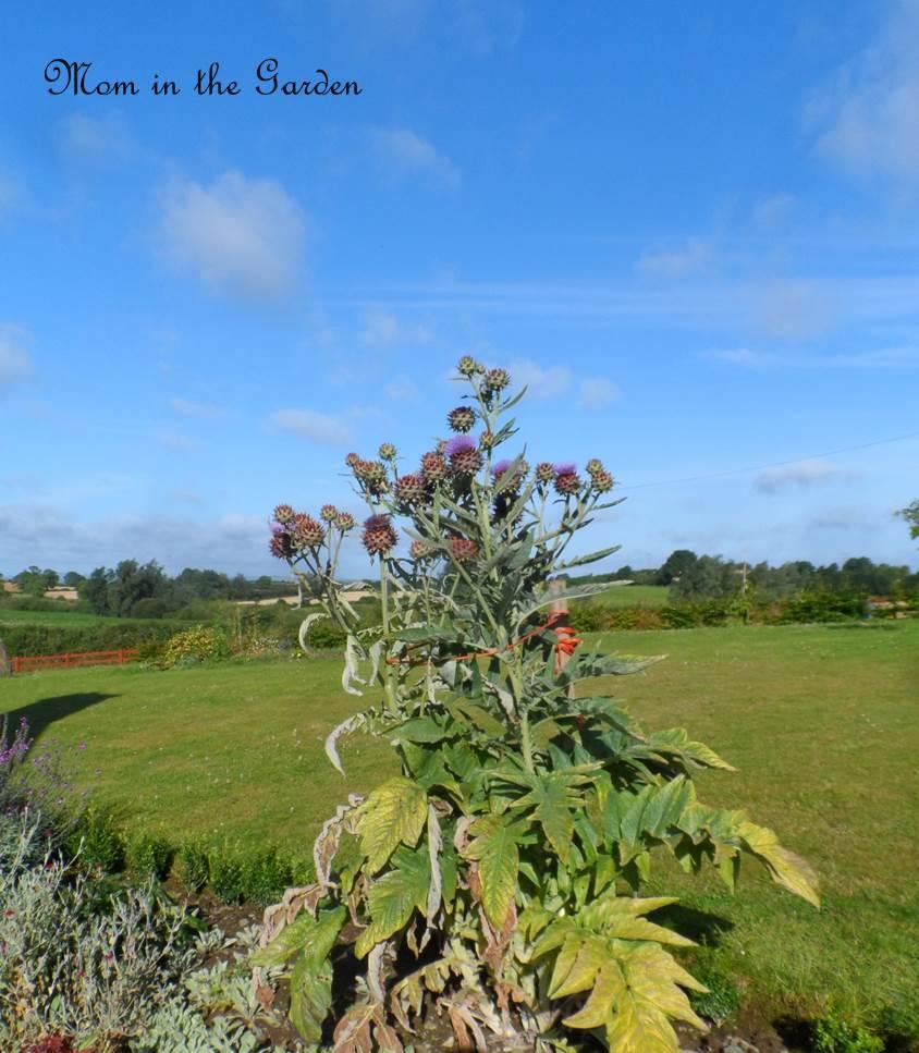 Entire Globe Artichoke Plant