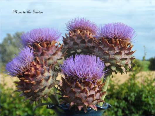 Globe Artichokes in bloom