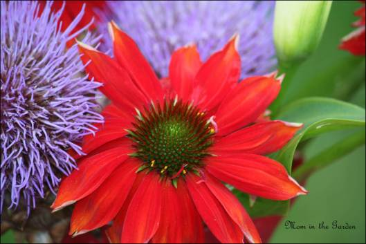 Salsa Red Echinacea