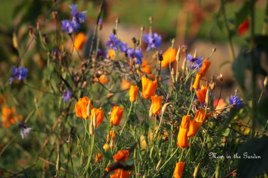 California poppies and cornflowers in the wild garden