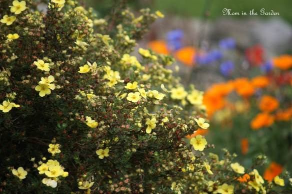 A yellow Potentilla with the poppies and cornflowers in the background