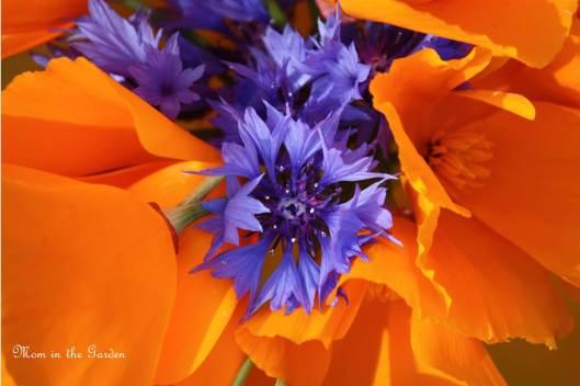 cornflower up close