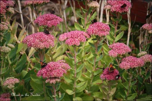 Autum Joy sedum, tortoise butterfly and bees
