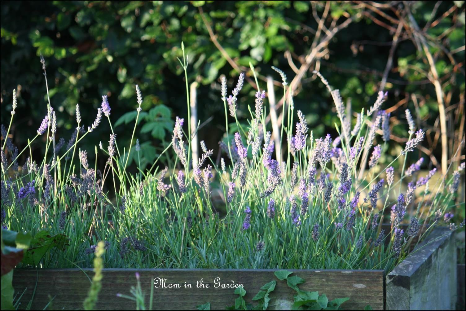Lavender in September!