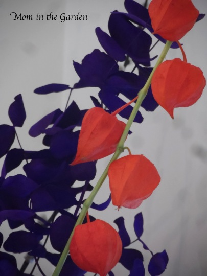 Chinese Lantern (Physalis alkekengi) with purple (painted) eucalyptus