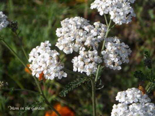 """""""wild white plant"""" in the garden"""