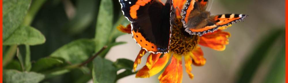 Red Admiral & Small Tortoiseshell butterflies