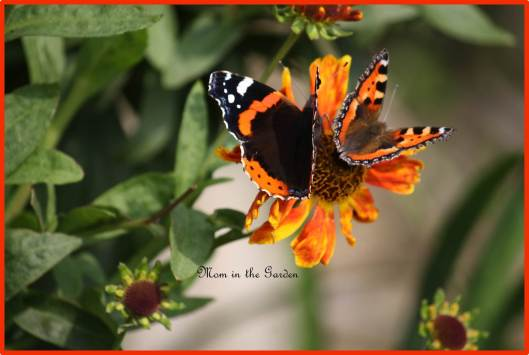 a Red Admiral & Small tortoiseshell butterfly on a helenium Waltraut