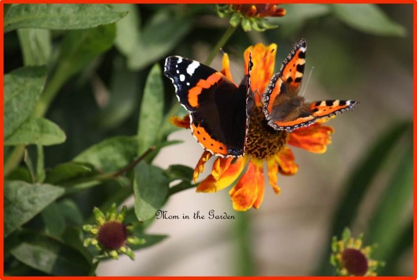 Red Admiral & Small Tortoiseshell butterflies