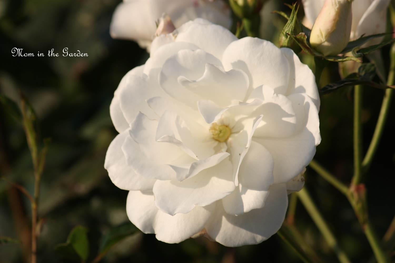 Silver Anniversary Hybrid Tea Rose