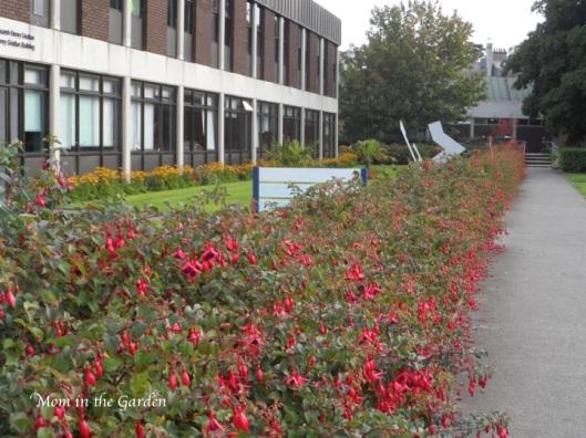 Fuchsia lined sidewalks (foot paths)