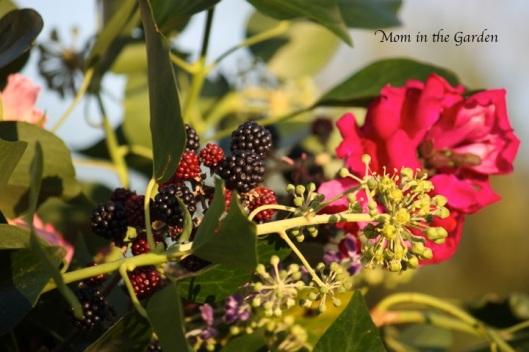 blackberries galore..