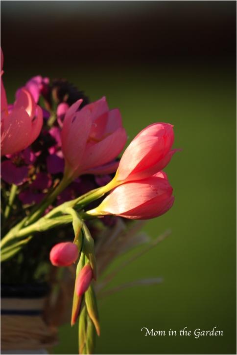 Pink Hesperanthus (schizostylis)