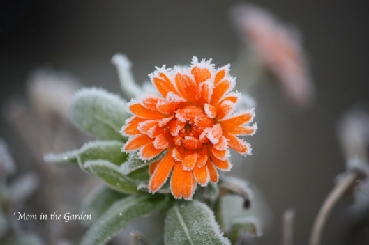 Frosted Calendula Flower