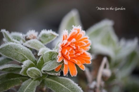 Calendula Orange Flower