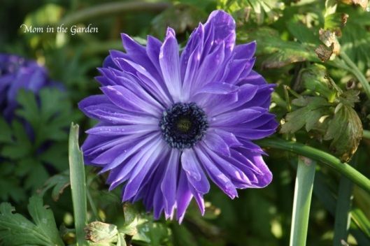 Mr Fokker Anemone