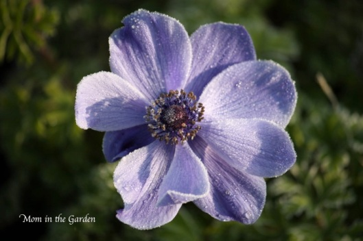 Anemone beauty on a frosty morning