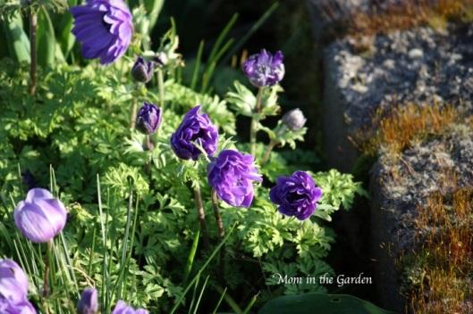 Anemone clump
