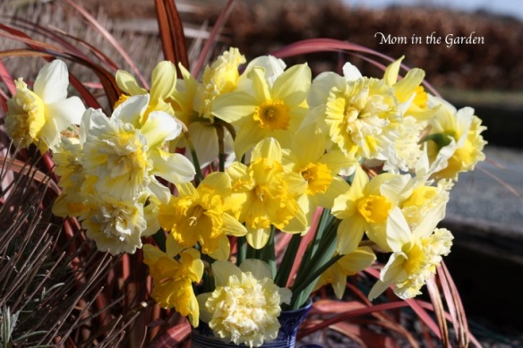 Daffodil bouquet in the garden