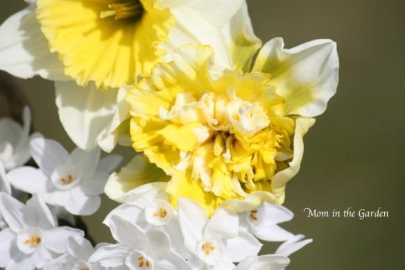 Daffodil season in full swing