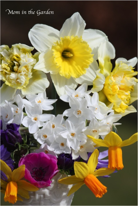 different varieties of daffodils