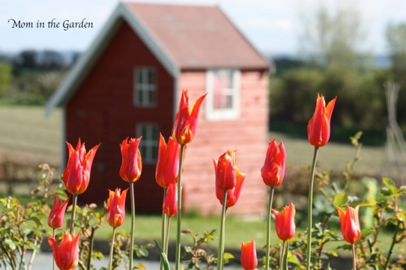 Ballerina tulips with our playhouse as a backdrop
