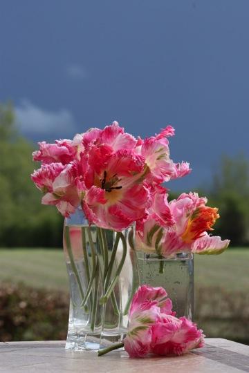 Parrot tulips in a vase, in my garden