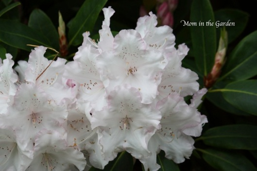 frilly edged white rhododendron flowers