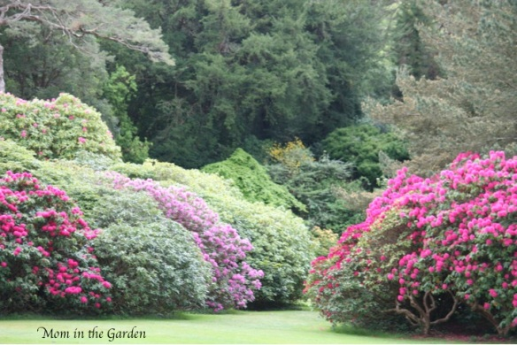 Rhododendrons!