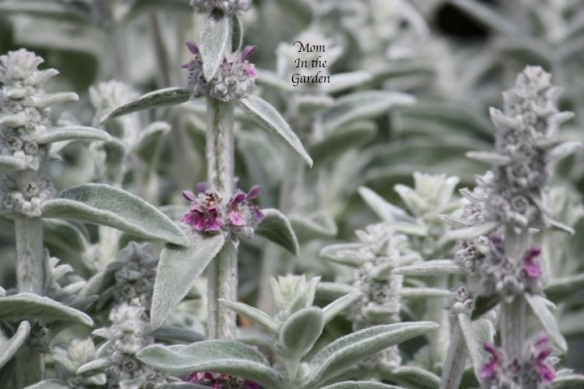 Lamb's ear: these colours remind me of winter.