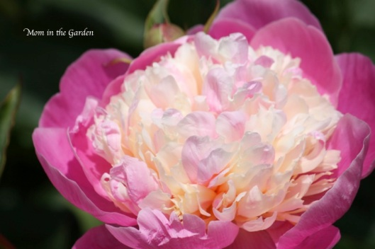 one of my favourite flowers... peony