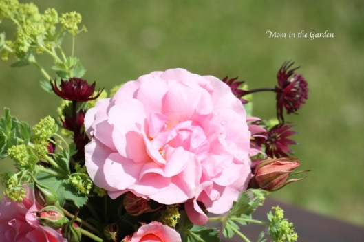 roses, astrantia, lady's mantle