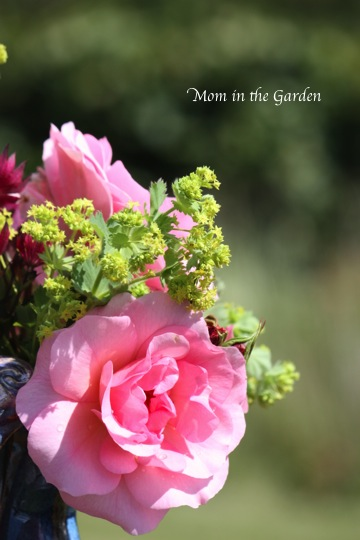 Roses & Lady's mantle (Alchemilla)