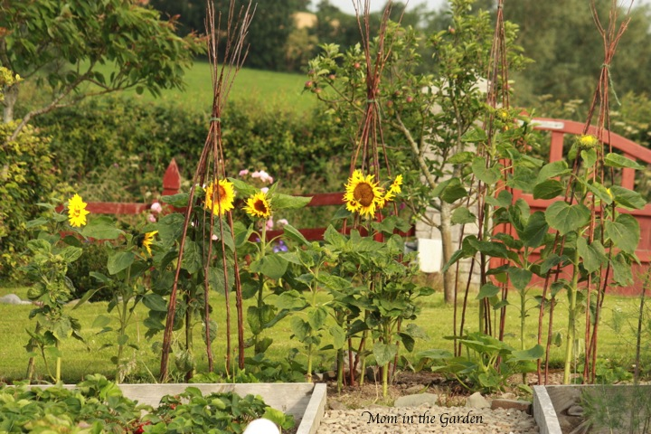 Sunflowers with a full apple tree behind them