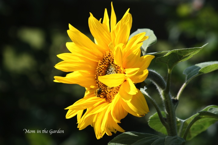 the bees are also enjoying the sun flowers