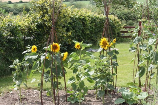 Sunflowers later in July
